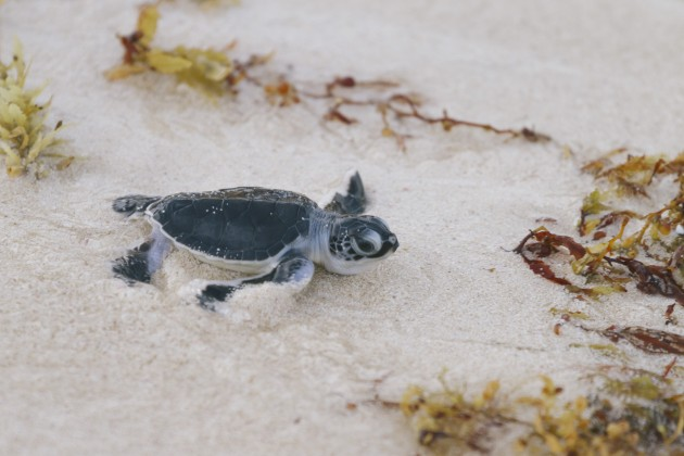 Sea Turtle Release_Baby Loggerhead Turtle_Photo by The Stills Agency