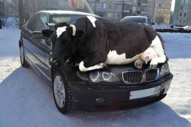 cowsleeping