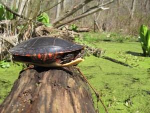 jennings-oxbow-and-three-legged-turtle-2007-04-29-11-10-33-am