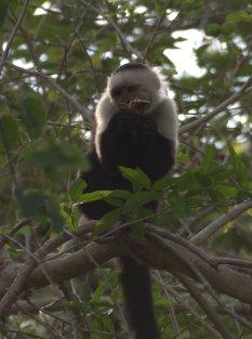 white-faced-capuchin-4-25-2009-6-48-15-am