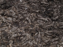 dead-fish-at-laguna-bocana-05022009-113029