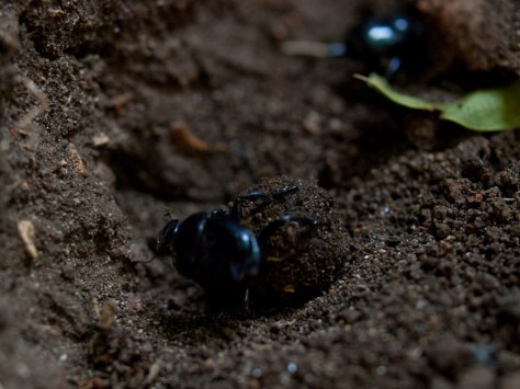 dung-beetles-rolling-05212009-152653