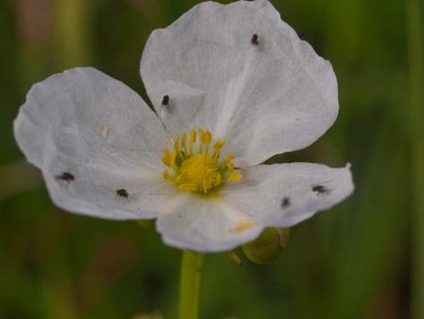 echinodorus-paniculatus-05232009-083430