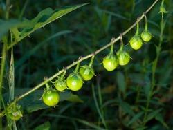 Solanaceae - Solanum dulcamara - Bittersweet Nightshade - 09.04.2009 - 15.10.20