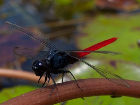 Aeshnidae - 10.15.2009 - 11.38.36