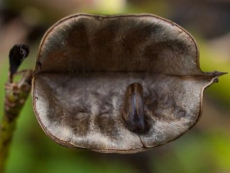 Neptunia prostrate seed - 10.17.2009 - 10.40.21