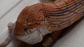 Corn snakes and Boa constrictor feeding - 02.18.2010 - 19.15.31