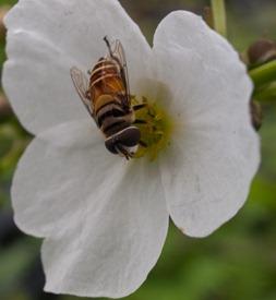 Alismataceae - Echinodorus paniculatus with flies - 06.11.2009 - 10.11.16