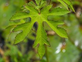 Malavaceae - Malachra alceifolia - 06.29.2009 - 10.33.19