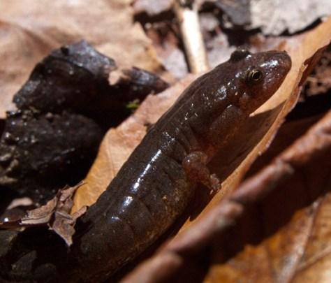 Northern Dusky Salamander - Desmognathus fuscus - 04.27.2010 - 10.49.36