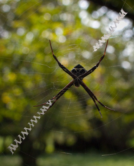 Orb weaver - 09.16.2010 - 10.29.59