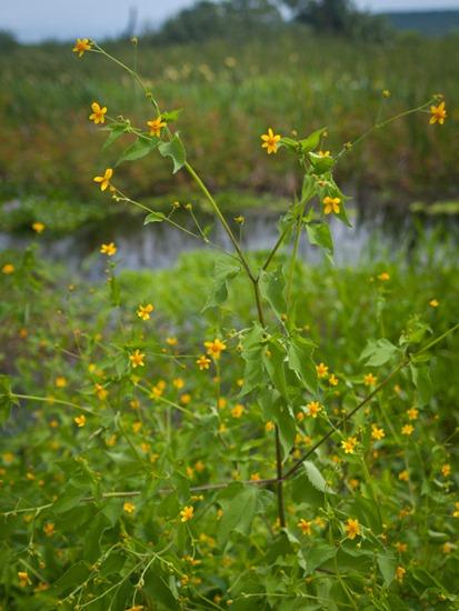 Asteraceae - Baltimora recta - 07.14.2010 - 09.12.51