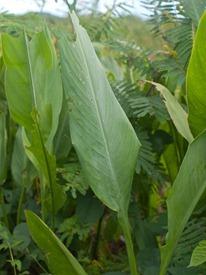 Cannaceae - Canna glauca - 07.14.2010 - 09.15.20