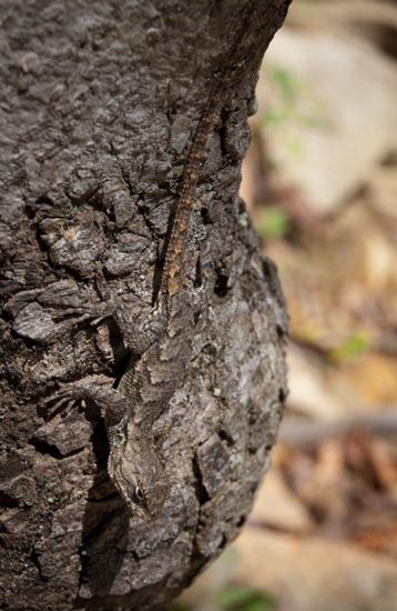 Northern Fence Lizard - Sceloporus undulatus - 09.25.2011 - 14.38.29