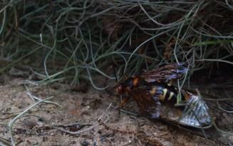 Eastern Cicada Killer - Sphecius speciosus - 20120903 - 6