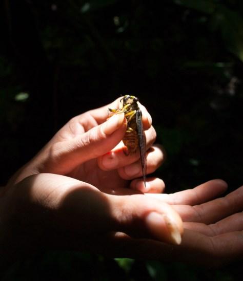 Cicada - 20130617 - 1
