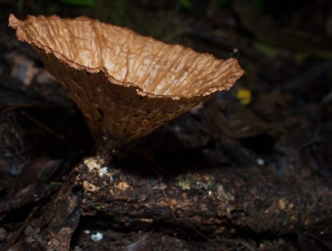 Cup fungus - Ascomycetes - 20130621 - 1-2