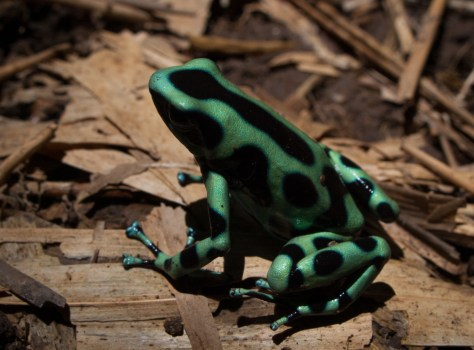 Green and Black Poisoin-dart Frog - Dendrobates auratus - 20130617 - 3
