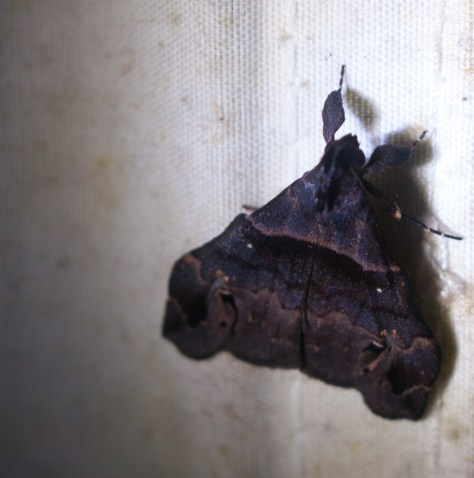 Moth black light - 20130629 - 2