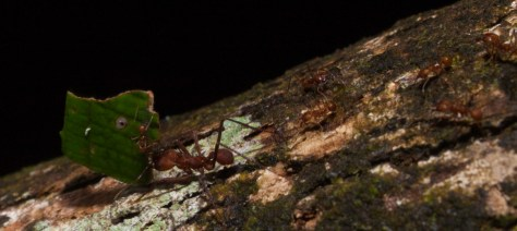 Atta leaf-cutter ants - 20130714 - 2
