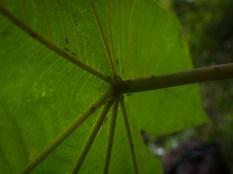 Cecropia and Azteca ants - 20130704 - 3