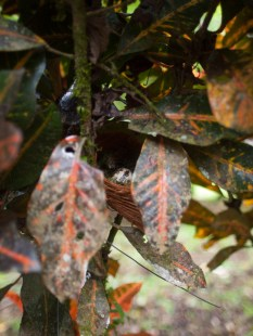 Shana Nest Predation Study - 20130714 - 12