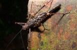 Orthoptera Tettigoniidae - 20130714 - 1