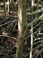 Stilt root of red mangrove fused with black mangrove stem