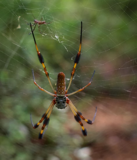 Golden silk orb-weaver - Nephila clavipes - 07.20.2014 - 10.22.49