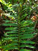 Mangrove fern - Acrostichum aureum - 07.14.2014 - 09.30.02