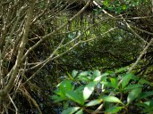 Red Mangrove - Rhizophora mangle - 07.14.2014 - 09.44.10