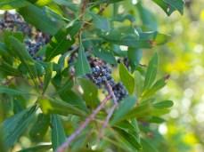 Wax Myrtle - Bayberry - Morella cerifera - 11.14.2014 - 13.35.12