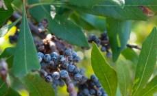 Wax Myrtle - Bayberry - Morella cerifera - 11.14.2014 - 13.35.17