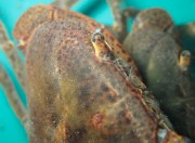 Catching and marking pseudothelphusidae crabs - 07.13.2016 - 08.32.26