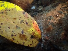 Decomposing leaves under the spring water