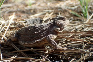 20180513 - Short Horned Lizard - Phrynosoma douglassi 002