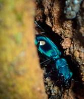 20180606 - Pseudoxycheila tarsalis Tiger Beetle 007