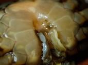 20180623 - Crab identification - Allacanthos pittieri 001