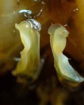 20180623 - Crab identification - Allacanthos pittieri 003