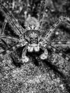 20180627 - Trichnella spider 002