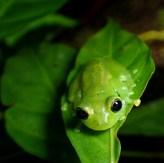 20180603 - Emerald Glass frog - Centrolenidae- Centrolenella prosoblepon 002