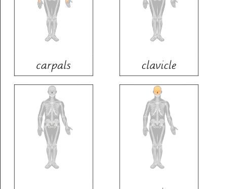 Human Skeleton (Parts of)