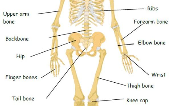 Human skeleton with common name labels