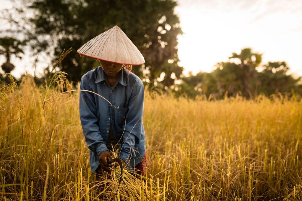 Photo prise en décembre lors de la récolte du riz