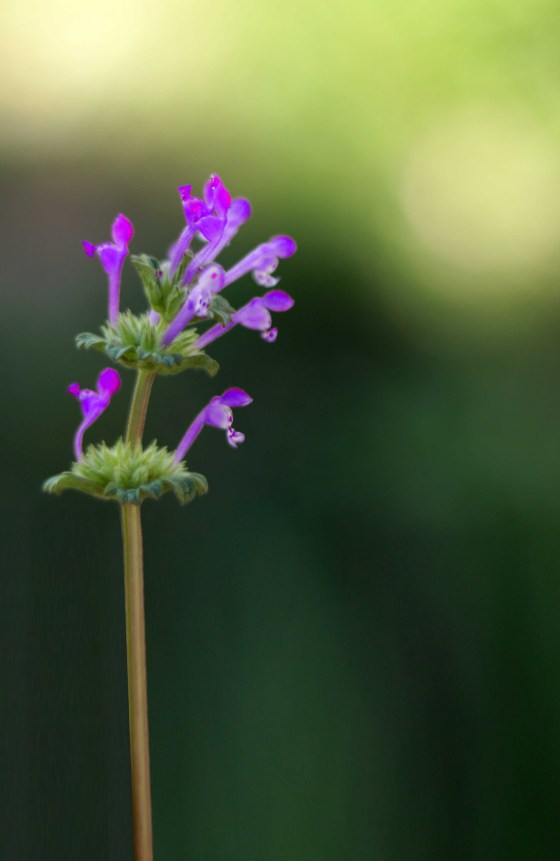 How to use henbit dead nettle in spells, witchcraft, magic and spring rituals like Ostara and Beltane.