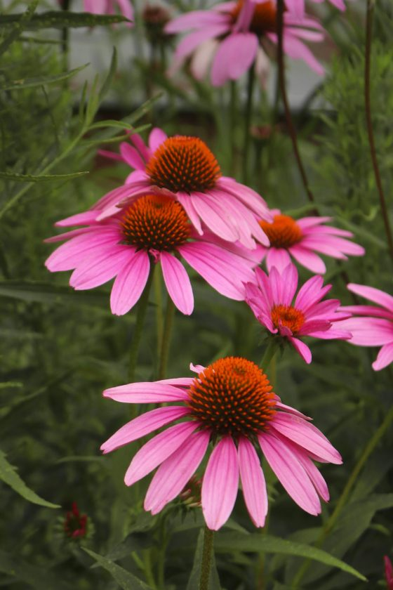 How to use echinacea in witchcraft.