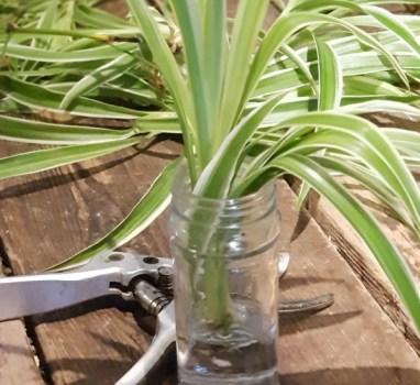 VerlopenKamerplanten; basic verzorging en vermeerderen.