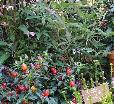 Verzorging Voor Je Indian Summer Planten