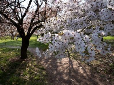 Kersenbloesems in het Belmonte Arboretum