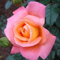 Rose love spell